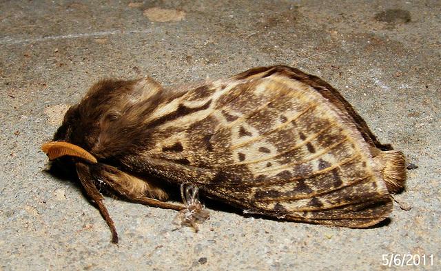 Oxycanus antipoda