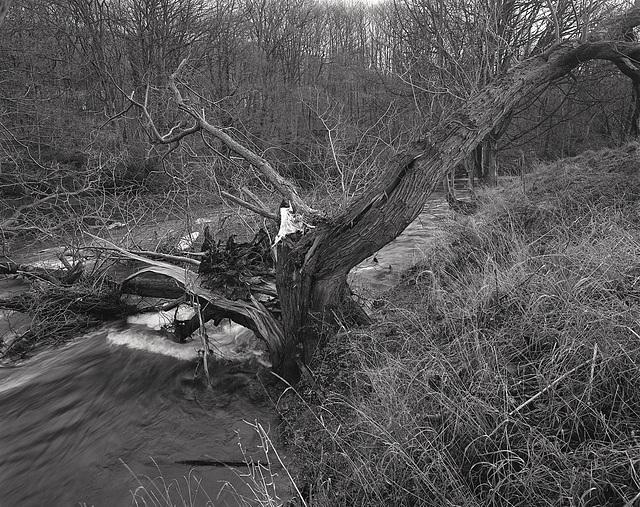 Derbyshire Wye - Last Willow on the Right Bank