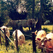 French cows in Burgundy