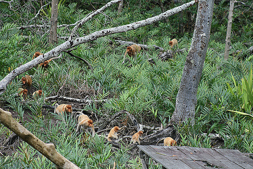 Parade of the Proboscis Monkeys