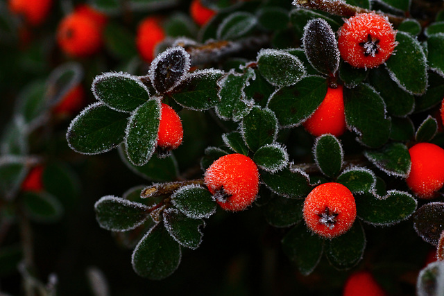 Frost on Cotoneaster