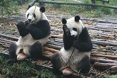 Kung fu pandas?