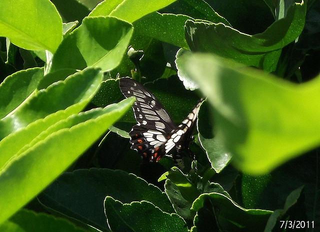 Papilio anactus Ovipositing