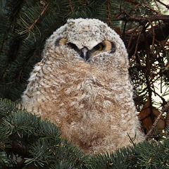 Great Horned Owlet #2