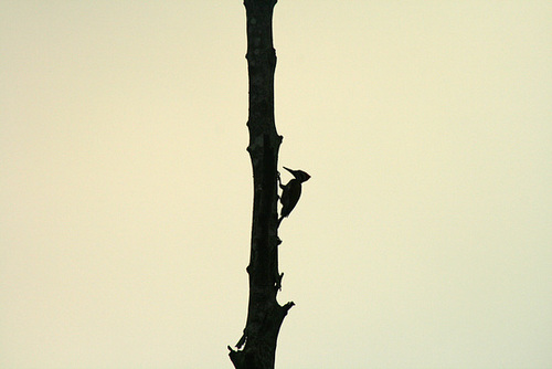 Woodpecker at dusk