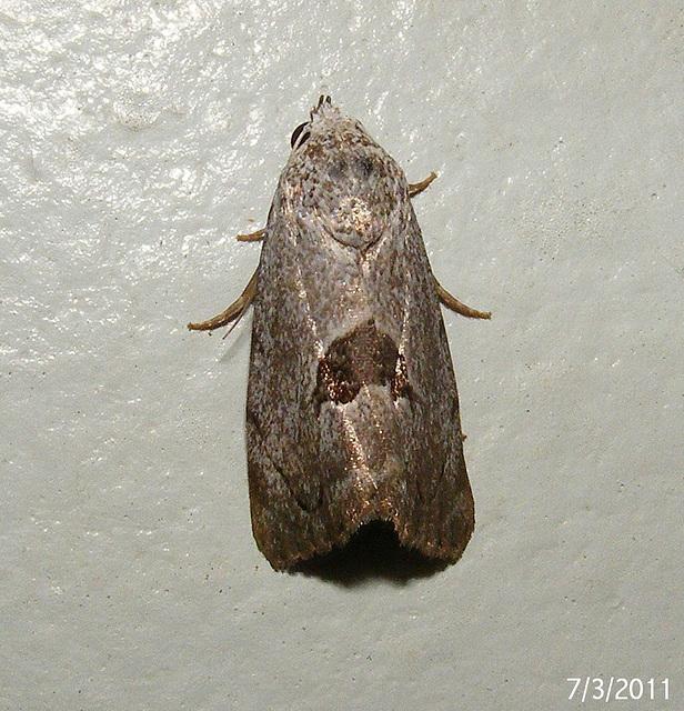 Armactica conchidia (Female)