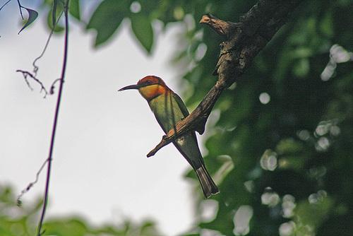 Bee-eater on alert