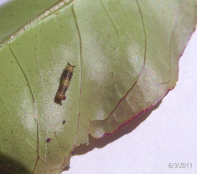 Papilio anactus Caterpillar Ist Instar