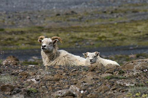 Proud sheep