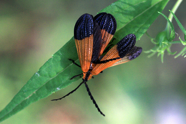 End-banded Net-winged Beetle