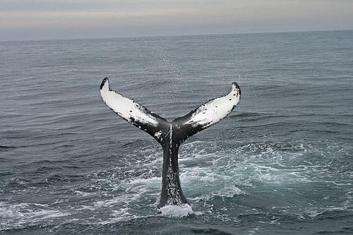 Humpback Whale - Húsavík