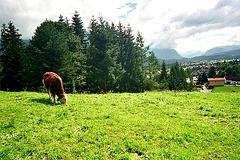 Wallgau cow