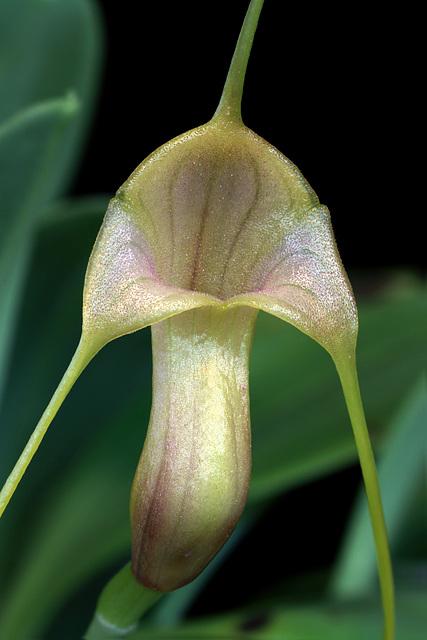 Masdevallia filaria
