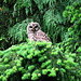 Barred Owl/Pacific NW