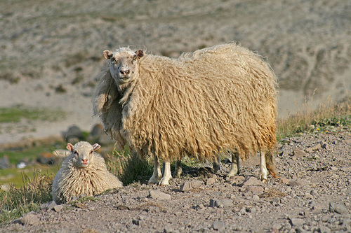 Very woolly!
