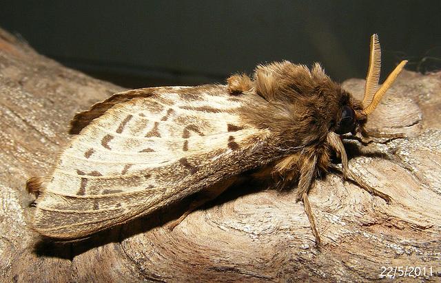 Oxycanus species