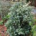 Osmanthus heterophyllus ' Goshiki'