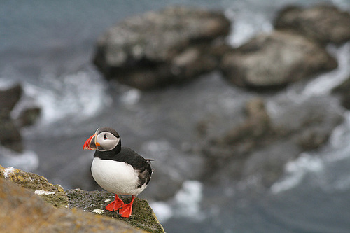 Puffin at clifftop