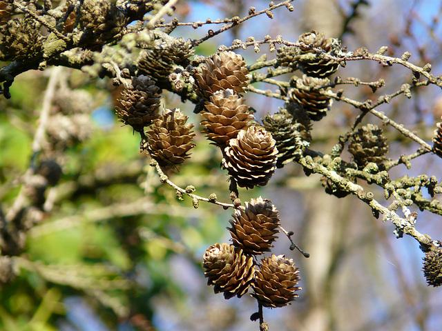 Mini Pines