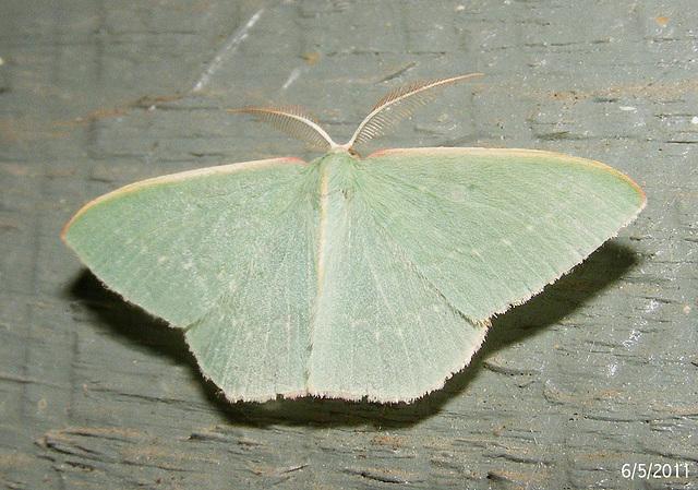 Chlorocoma species (Possibly C. dichloraria)