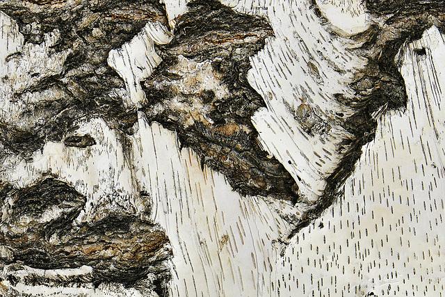 Birch Bark – Botanic Gardens, Denver, Colorado