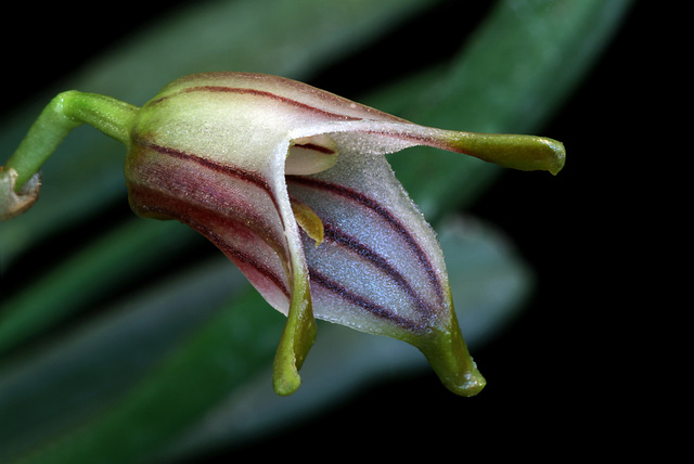 Reichantha striatella