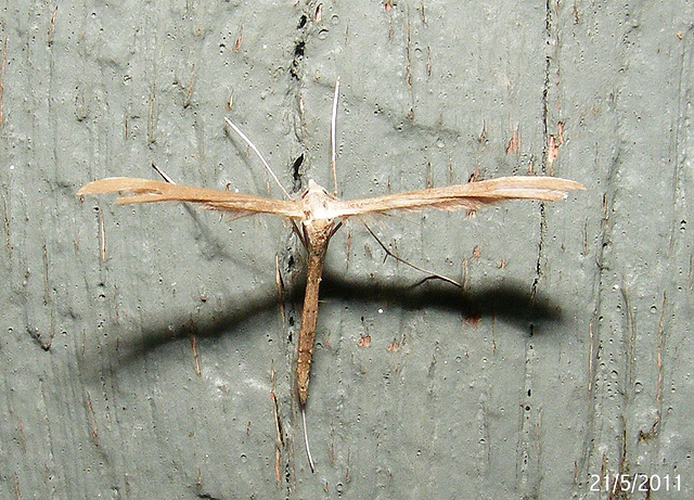Stenoptilia zophodactylus