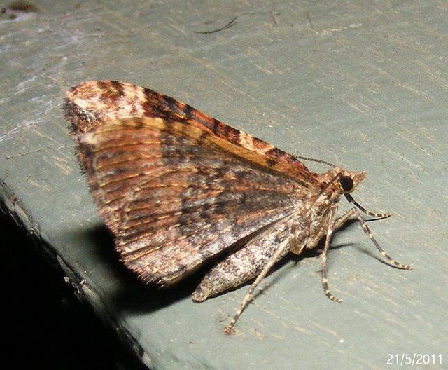 Epyaxa subidaria (Underwing)