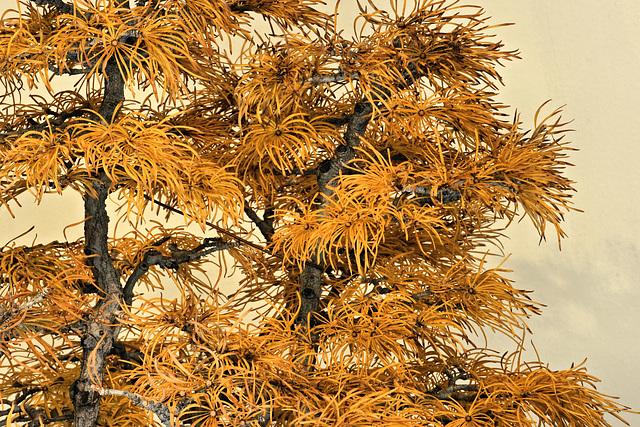 Ipernity Bonsai Golden Larch National Arboretum Washington D C By Jonathan Cohen
