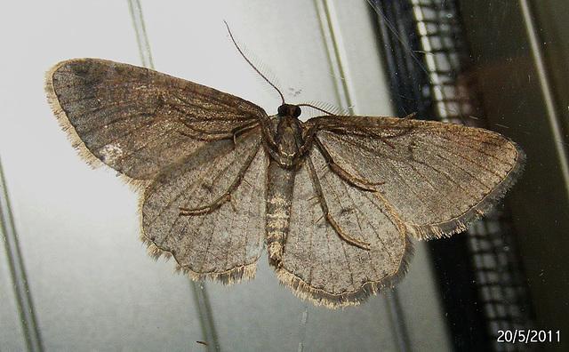 Zermizinga sinuata (Underwing)