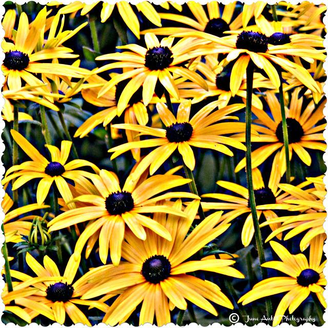 Rudbeckia Goldstrum  (Black eyed Susans)