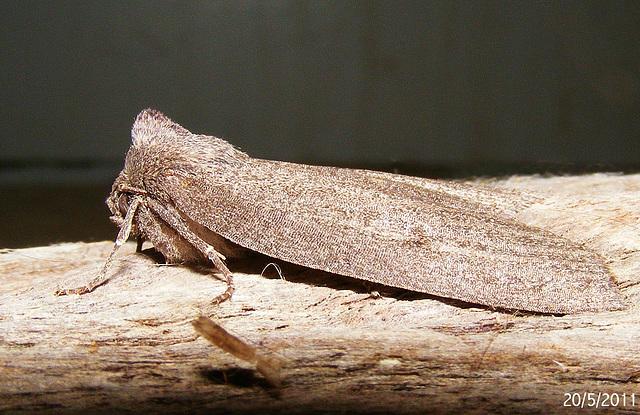 Paralaea ochrosoma