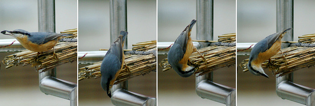 An Eurasian Nuthatch (Kleiber) masked as Zorro,  hiding his booty. ©UdoSm