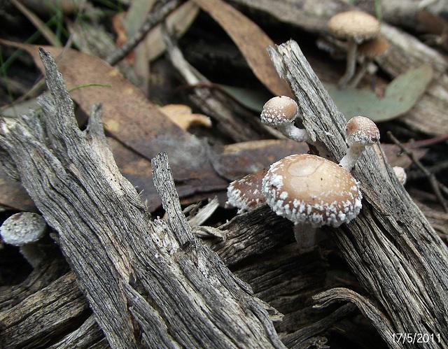 Psilocybe species