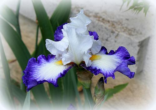 Iris ' Futuriste '