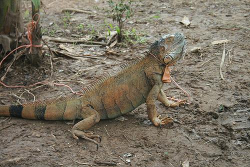 A pet iguana