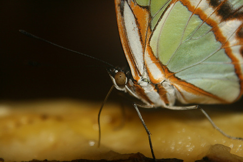 A Butterfly Enjoys A Rotting Banana