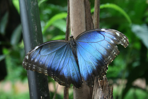 Beautiful Irradescent Blue Butterfly