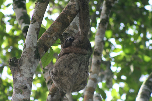 Mother and Baby Sloths
