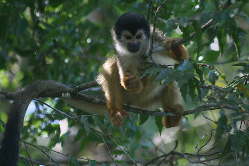 Gorgeous squirrel monkey