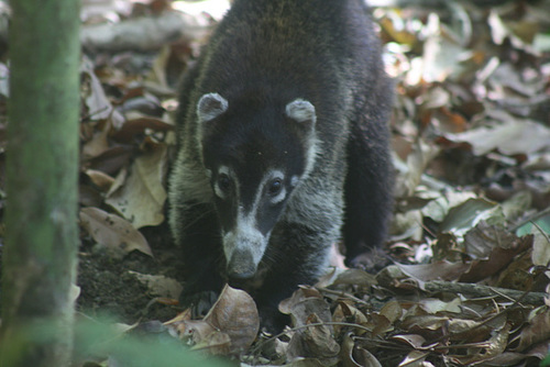 Coati digs up a large crab