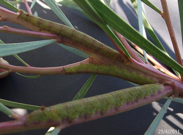 Pararguda nasuta Caterpillars