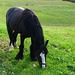 Gypsy Irish Cob grazing