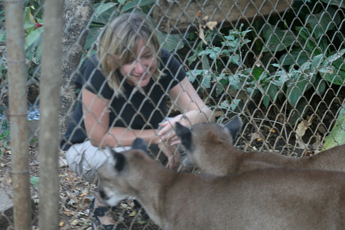 Two Pumas Come To Visit Jo In Her Cage