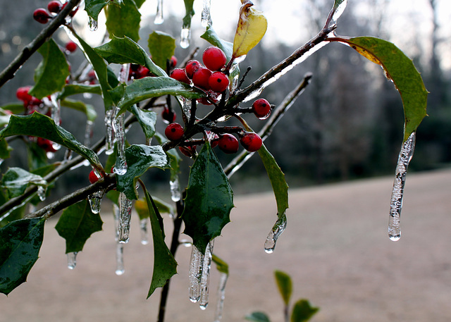 Ice on holly