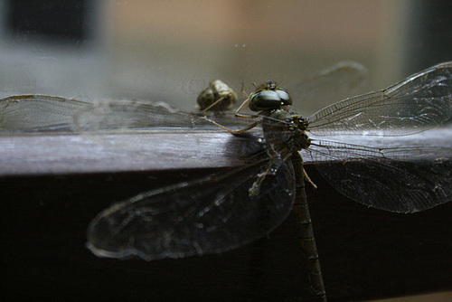 A Narcissistic Dragonfly