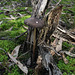 Xerula australis (Rooting Shank)