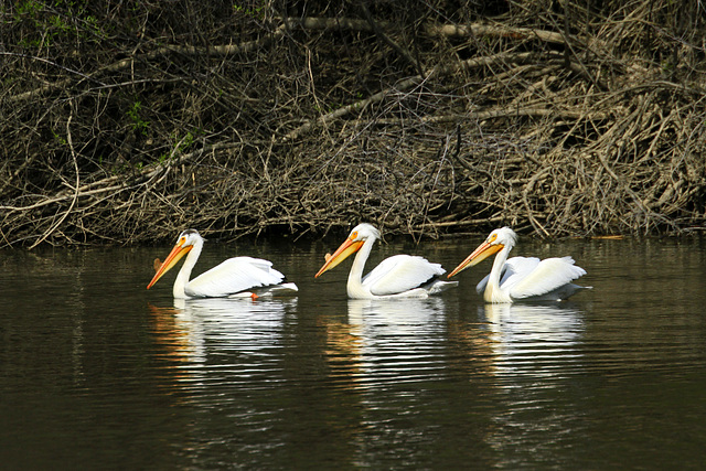 A Pod of Pelicans