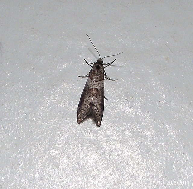 Lepidoscia adelopis