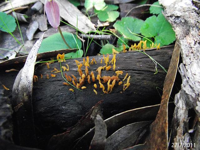 Calocera species